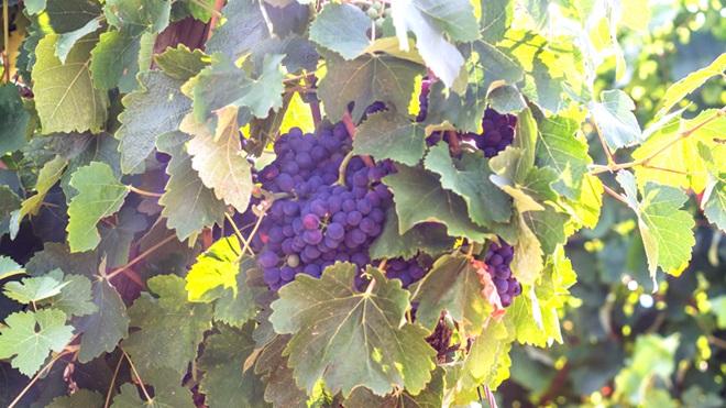 Cacho de uvas tintas em vinha na região de Setúbal