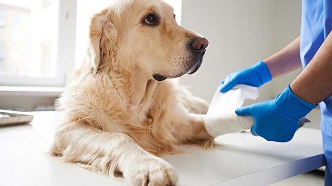Cão a tratar da pata no veterinário