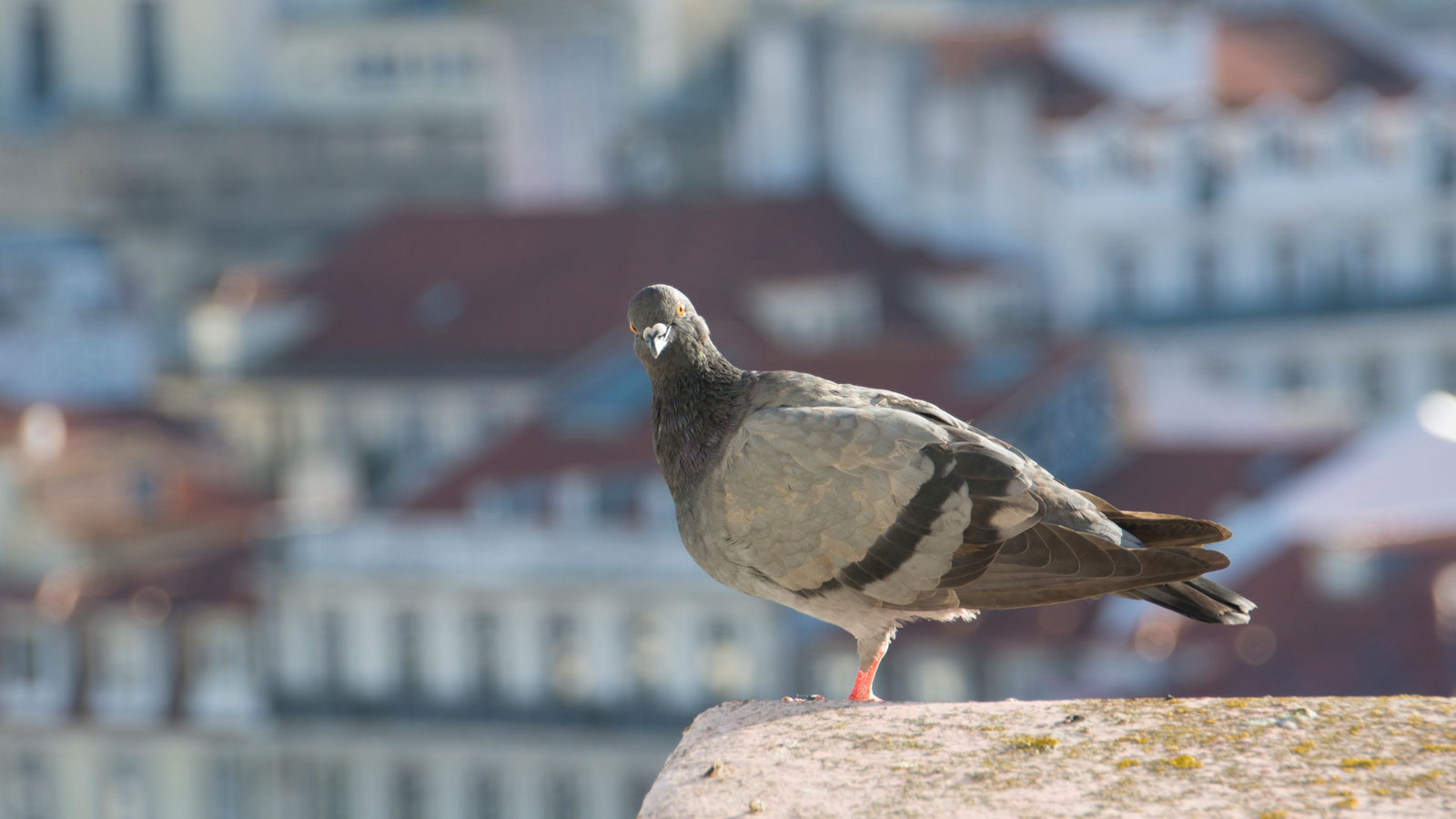 Dar comida a pombos é proibido e punível com coima em muitos municípios portugueses, como Lisboa e Porto.